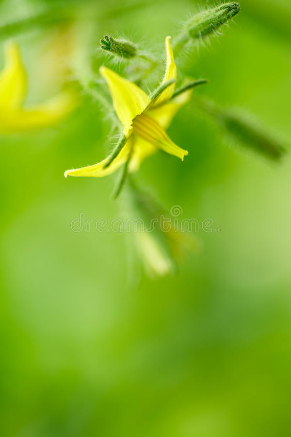 Bright yellow flowers of tomatoes stock photography