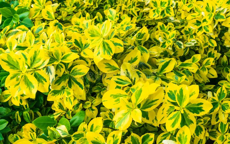 Bright Yellow and Green Foliage. A burst of colour from bright yellow and green leaves that fill the wide frame with a bold and garish palette royalty free stock image