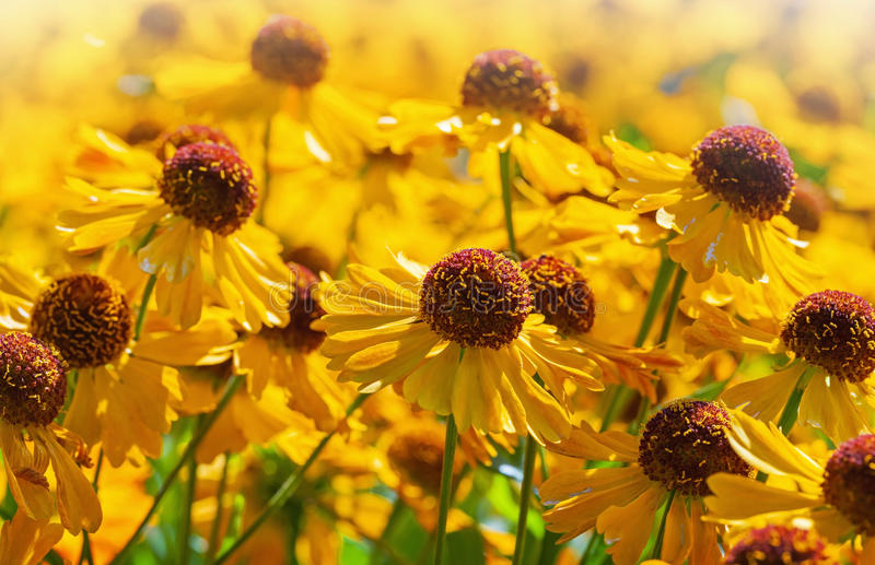Download Bright Yellow Helenium Flowers Stock Image - Image: 33792987