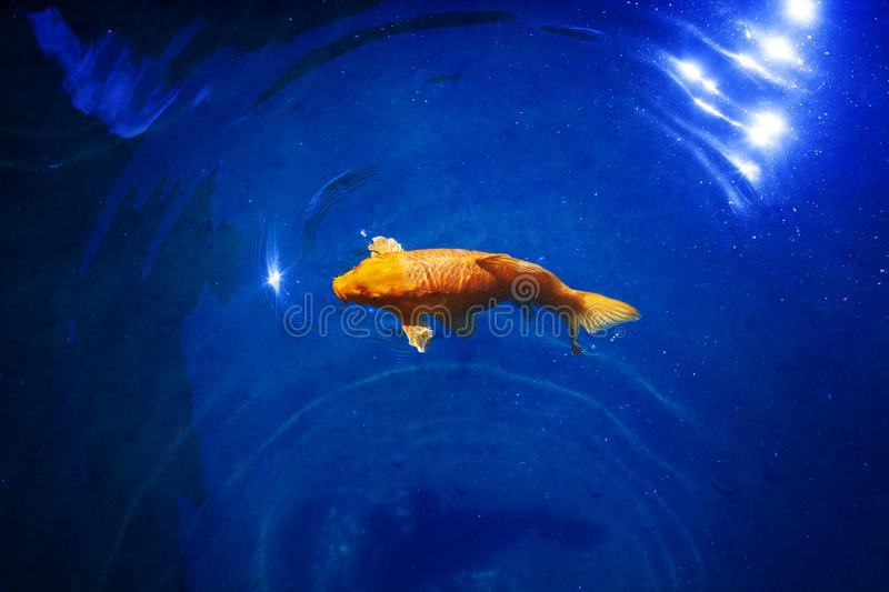 Bright yellow koi carp on dark blue sparkling water background close up, exotic goldfish swims in ocean stock photo