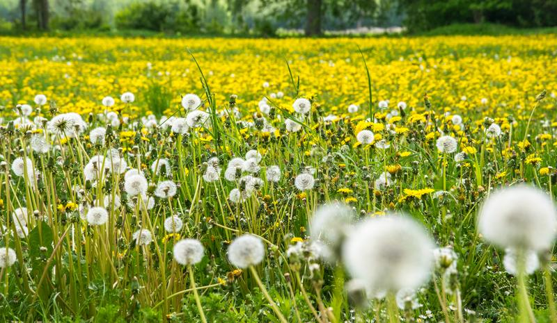 Bright yellow large field of flowering dandelions stock photography