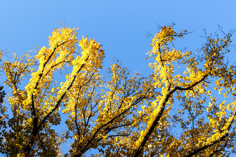 Bright yellow leaves royalty free stock photo