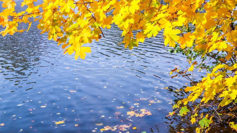 Bright yellow leaves on a maple by the river on a sunny autumn day. Autumn background.  royalty free stock images
