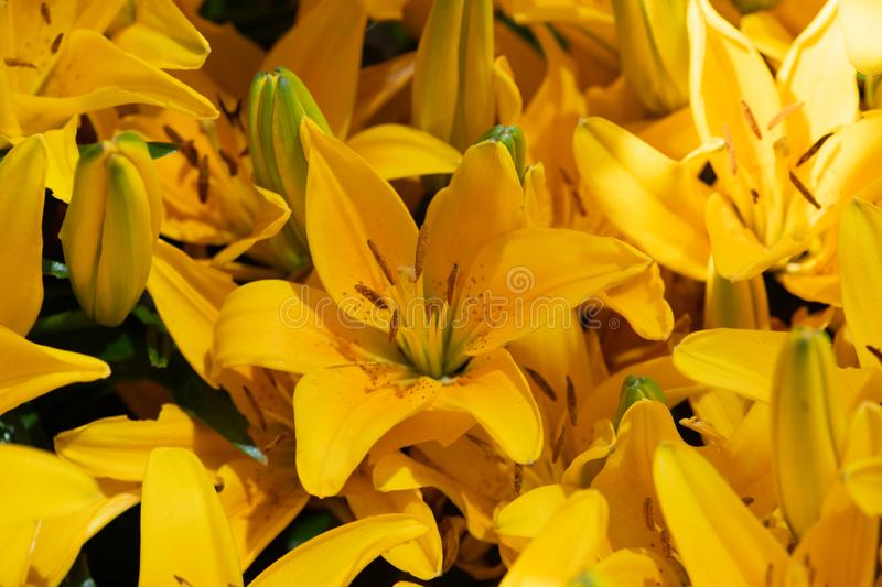 Bright yellow lilies in bloom. Mass of bright yellow scented lilies in bloom in spring royalty free stock photo