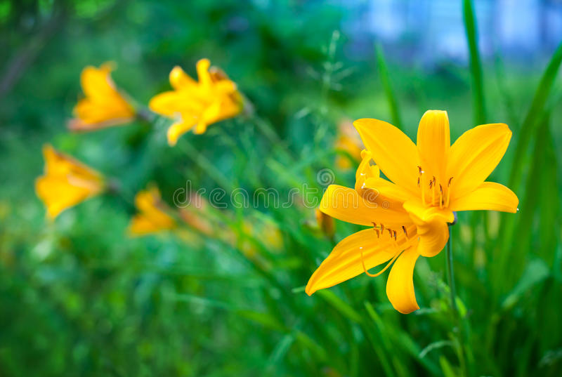 Bright yellow lily flowers in summer garden royalty free stock photos