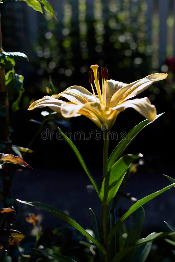 Free Bright Yellow Lily Lilium Flower Shadowed Royalty Free Stock Images - 131655539