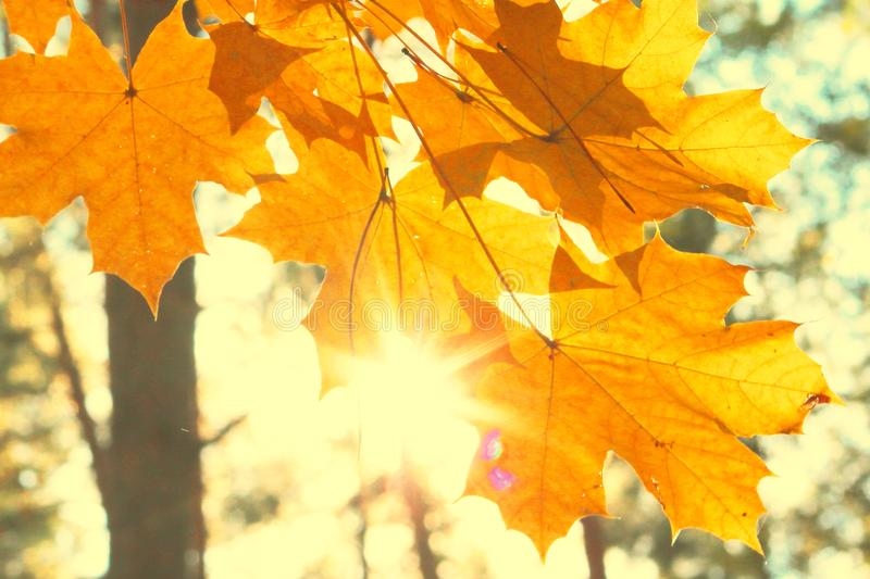 Bright yellow maple leaves in autumn forest against backlight of sun stock image