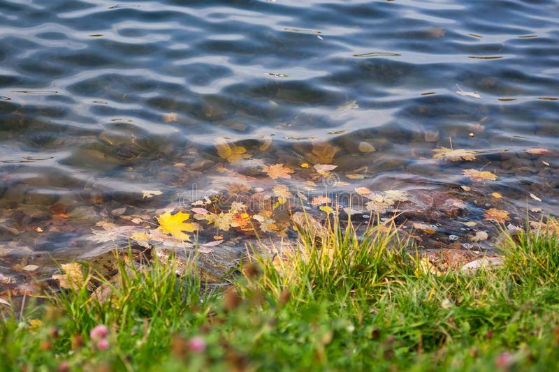 Bright yellow maple leaves in the water and green grass on the shore. Natural autumn background stock photo