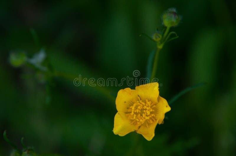 Marsh-marigold close-up royalty free stock photo