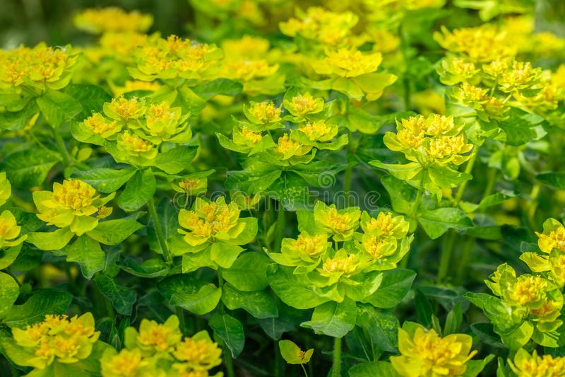 Bright yellow milkweed bushes on a green background in the garden. Floral pattern. Cushion spurge, euphorbia stock photos