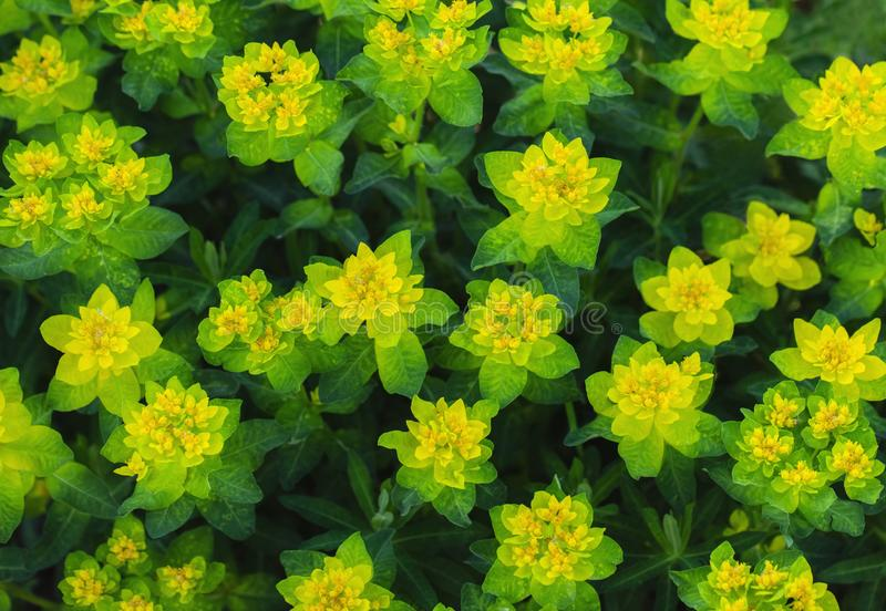 Bright yellow milkweed bushes on a green background in the garden. Floral pattern. Cushion spurge, euphorbia epithymoides royalty free stock photo
