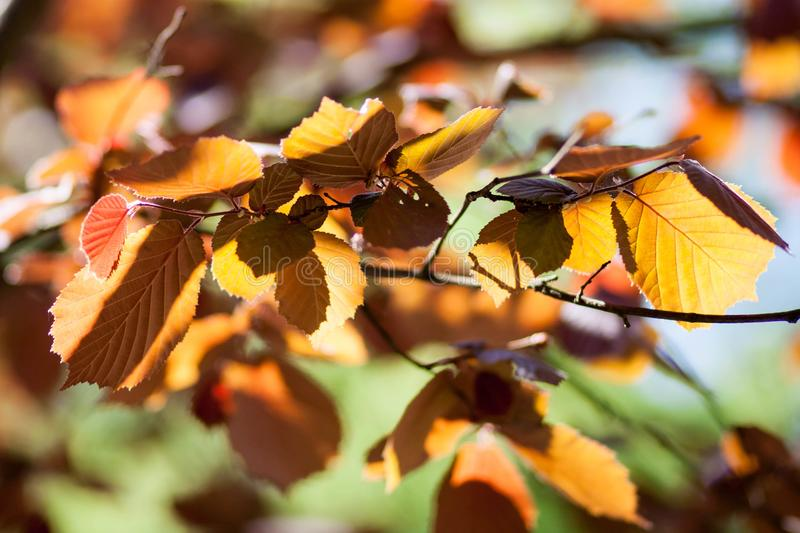 Yellow, orange, green autumn leaves on a blurred background royalty free stock image