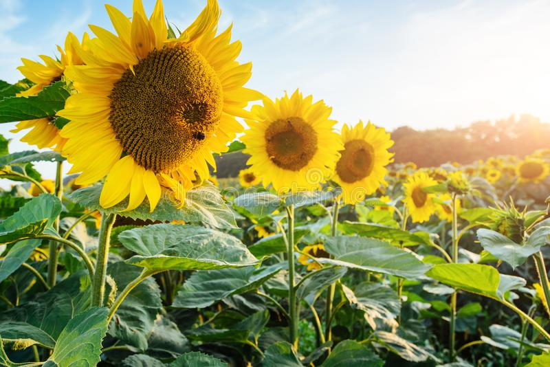 Bright yellow, orange sunflower flower on sunflower field. Beautiful rural landscape of sunflower field in sunny summer stock images