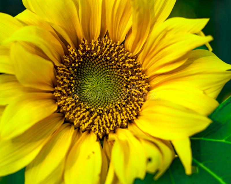 Natural look of Sunflower blooming in full screen. stock image