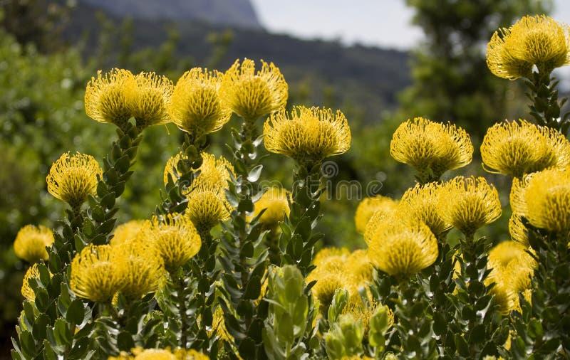 Bright yellow pincushion proteas stock image