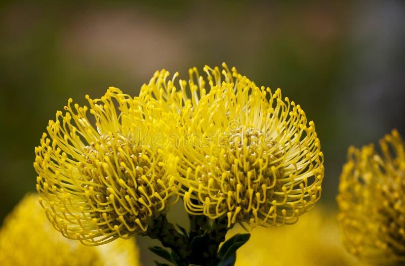Bright yellow pincushion proteas royalty free stock photo