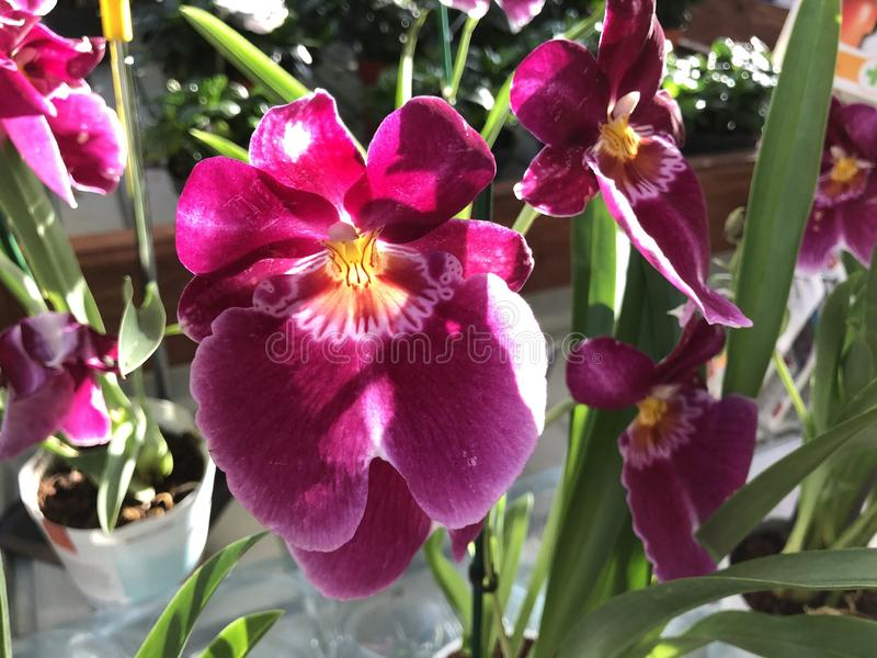Bright pink and yellow exotic flower of Miltonia. Bright yellow and pink exotic flower Miltonia stock image