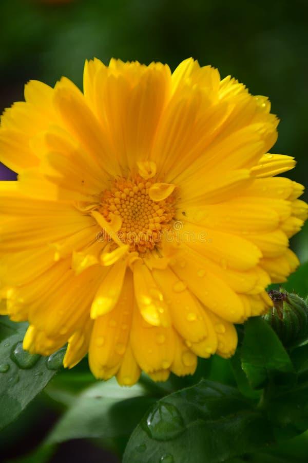 Bright Yellow Pot Marigold Flower Calendula Officinalis by Maria Rutkovska royalty free stock images