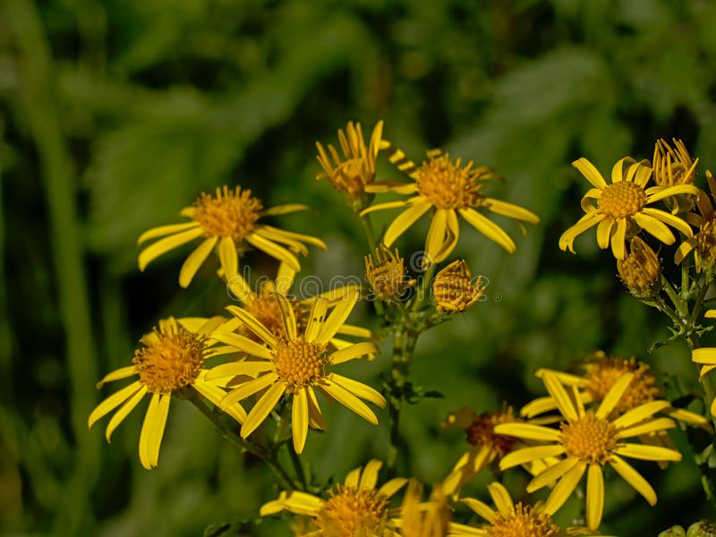 Close up of bright yellow common ragwort flowers on a green bokeh background royalty free stock image