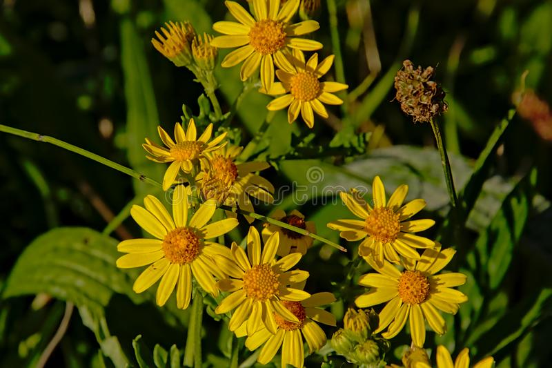 Bright yellow common ragwort flowers on a green bokeh background stock photography