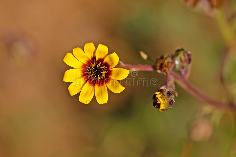 Bright yellow and red daisy wildflower. Two yellow and red daisy wildflower buds, one open, in Western cape, South Africa stock photos