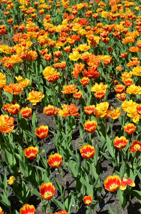 Bright yellow and red tulips on sunny spring day in Moscow - tulips field, flower bed, vertical image royalty free stock images