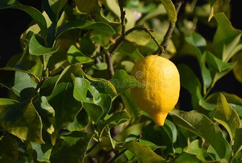 Ripe lemon hanging on a tree. A bright yellow ripe lemon growing on a lemon tree in a lemon grove. The image has an area suitable for copy space royalty free stock photography
