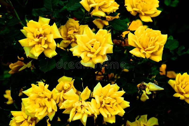 A bright yellow rose bush stock photo