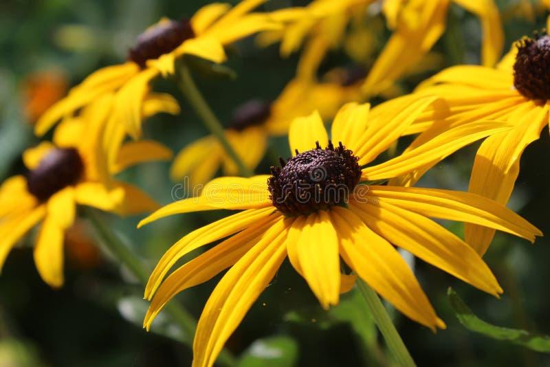 Bright Yellow Rudbeckia fulgida Flowers royalty free stock images
