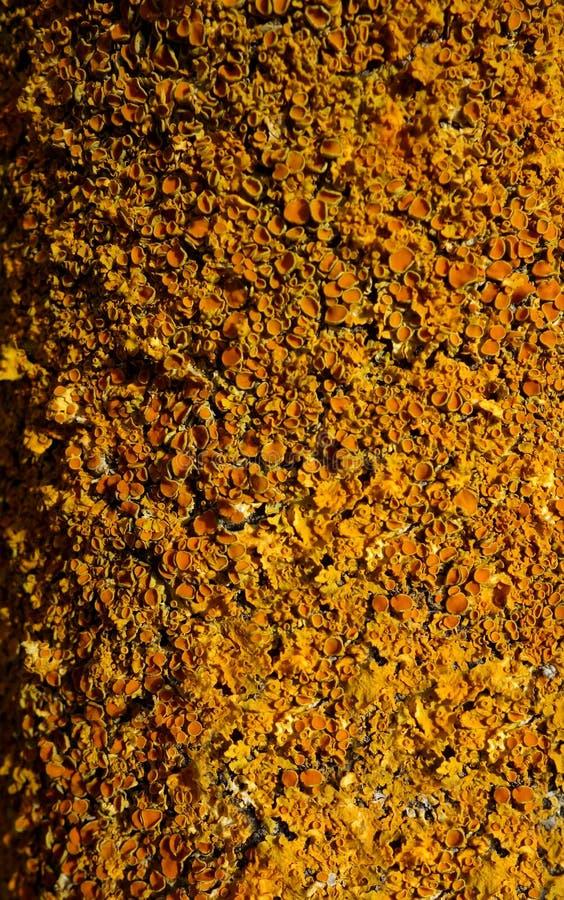 Bright Yellow Small Lichen Macro stock photography