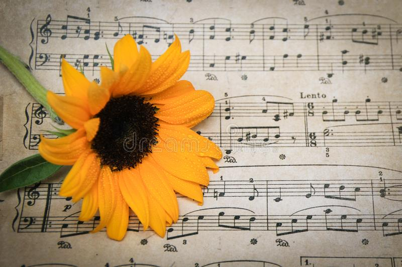 Yellow Sunflower with stem resting on vintage sheet music. Bright yellow sunflower covered in dew resting on vintage sheet music royalty free stock photo