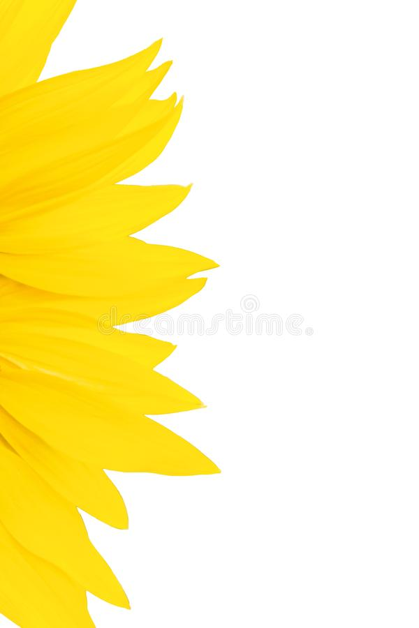 Bright yellow sunflower petals on white background. With copy space royalty free stock photo