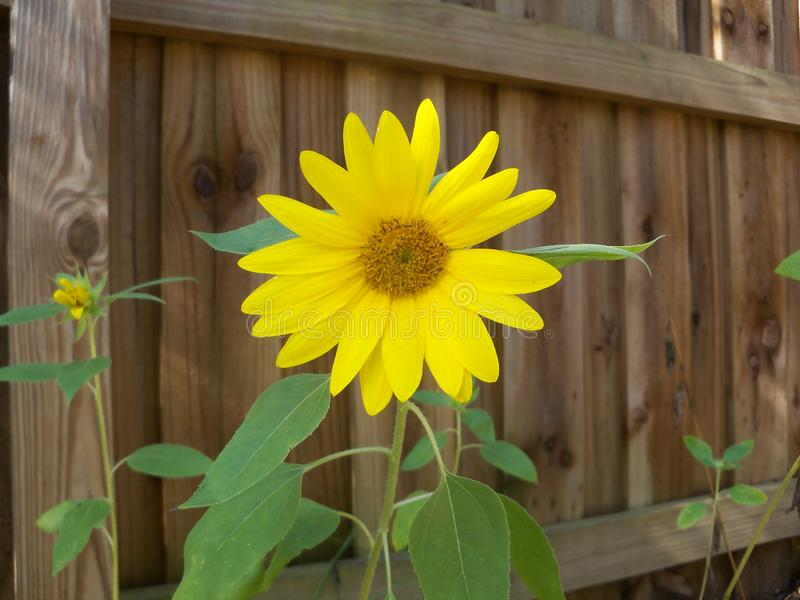 Sunny bright yellow sunflower against a brown fence. Bright yellow Sunflowers bloom against a brown fence on a sunny day stock photography
