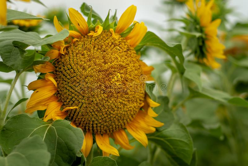 Bright yellow sunflowers in full bloom royalty free stock photos