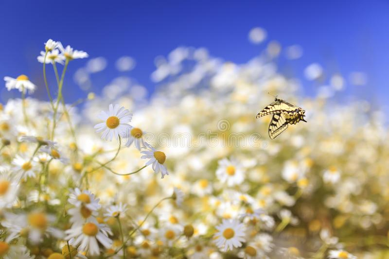 Bright yellow swallowtail butterfly flutters over white beautiful flowers of daisies on a summer sunny rural meadow on a warm day. Bright swallowtail butterfly stock image