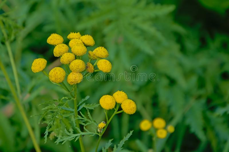 Bright yellow tansy flowers close up - - Tanacetum vulgare stock photography
