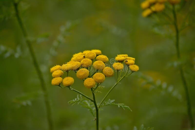Bright yellow tansy flowers - Tanacetum vulgare royalty free stock photo