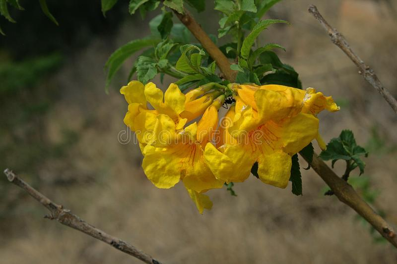 Bright yellow trumpet flowers stock photo image of trumpet shrub download bright yellow trumpet flowers stock photo image of trumpet shrub 113514666 mightylinksfo
