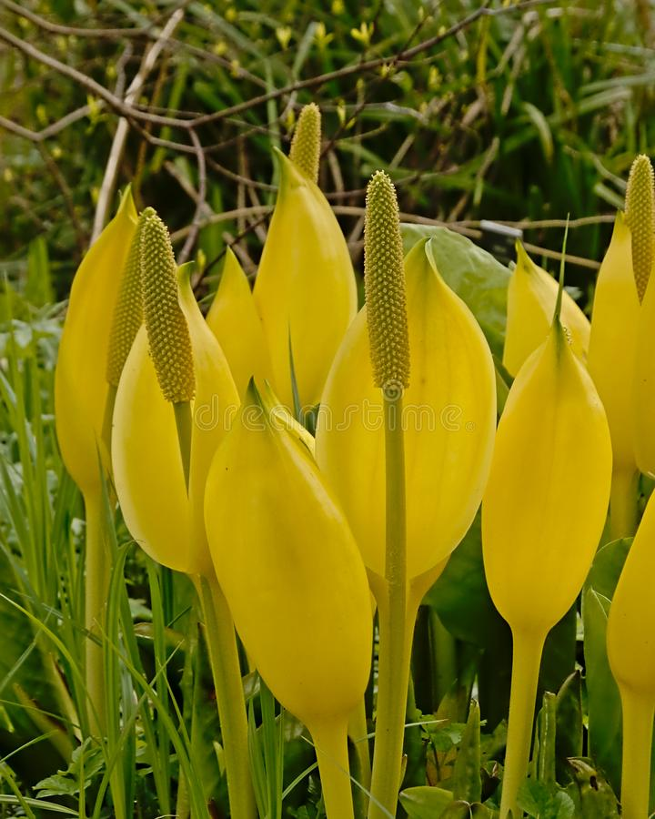 Bright yellow  western skunk cabbage flowers, selective focus stock photo