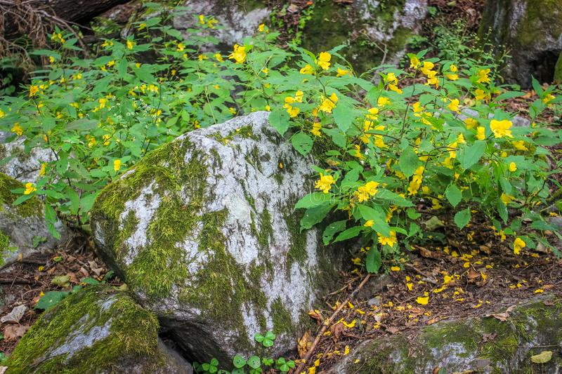 Bright yellow wild flowers along with green leaves foliage growing on mossy stones in a woodland stock images