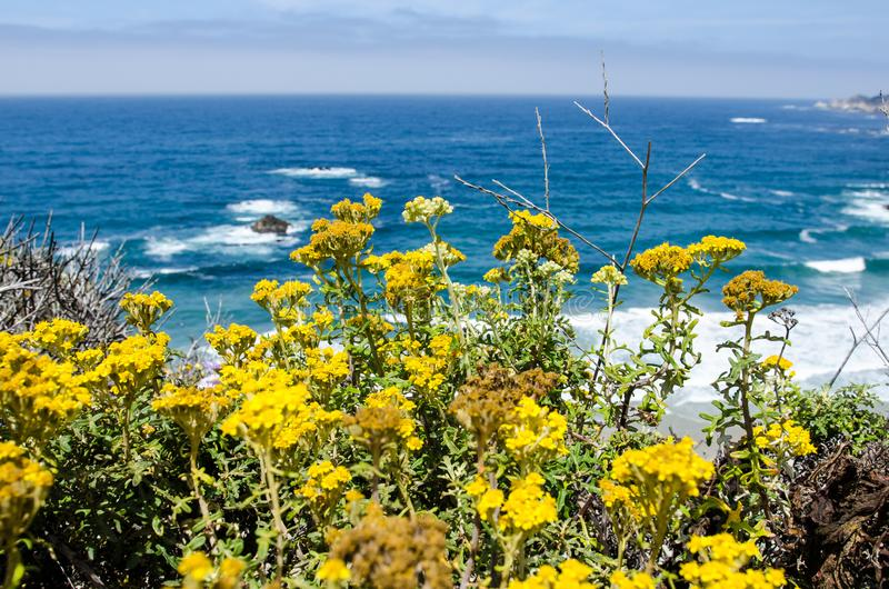 Bright yellow wildflowers in bloom along the Pacific Coast Highway in California near Big Sur. Yellow wildflowers in bloom along the Pacific Coast Highway in royalty free stock image