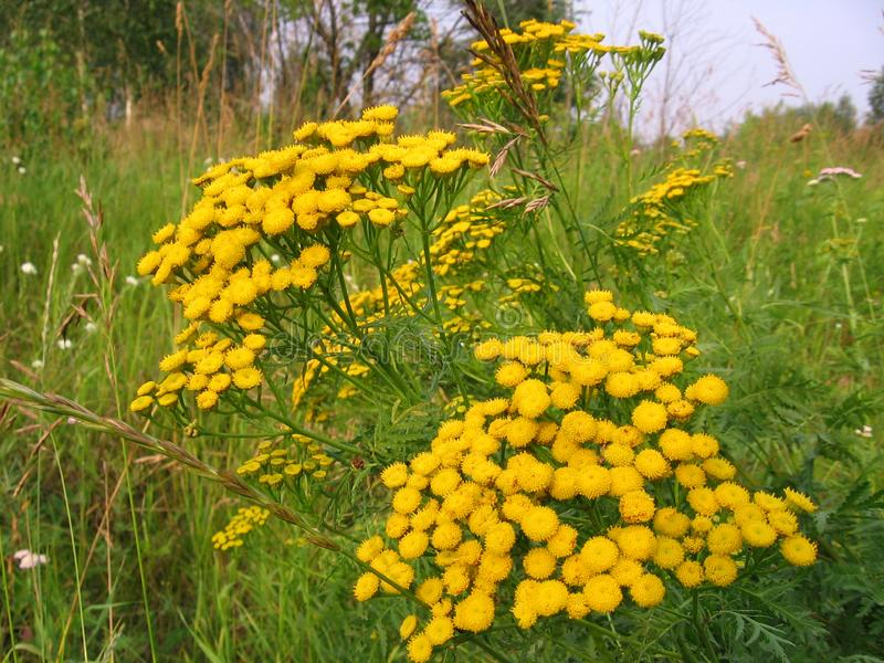 Bright yellow wildflowers tansy grow in the field in the summer in the grass. Bright yellow wildflowers tansy grow  the field in the summer in the grass royalty free stock photos