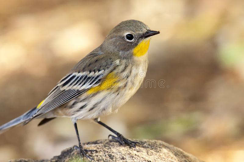 Brightly colored yellow-rumped warbler. The bright yellow of this yellow-rumped warbler stands out against the subdued background tones royalty free stock images