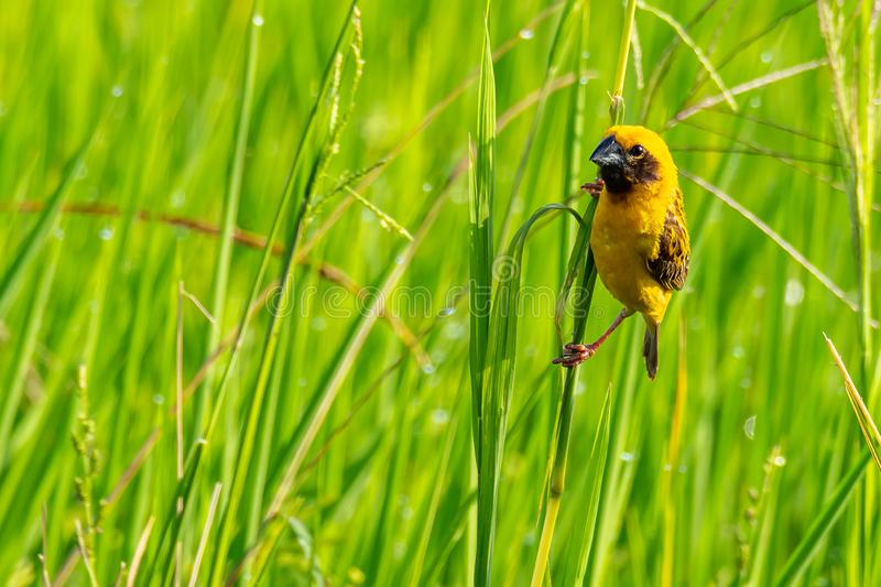 Bright and yellowish male Asian Golden Weaver perching on grass stem, looking into a distance royalty free stock photography