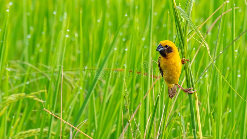 Bright and yellowish male Asian Golden Weaver perching on grass stem, looking into a distance stock photos