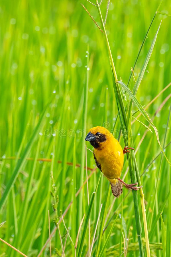 Bright and yellowish male Asian Golden Weaver perching on grass stem, looking into a distance stock image