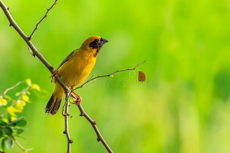 Bright and yellowish male Asian Golden Weaver perching on Manila tamarind branch, looking into a distance stock photos