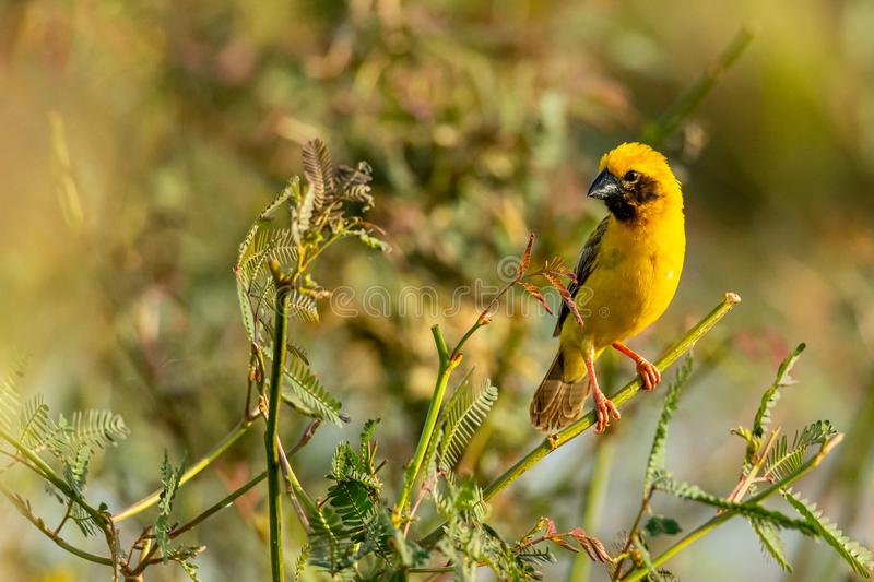 Bright and yellowish male Asian Golden Weaver perching on mimosa plant, looking into a distance. Bangkok, Thailand royalty free stock images