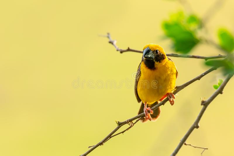 Bright and yellowish male Asian Golden Weaver perching on perch, looking into a distance stock photos