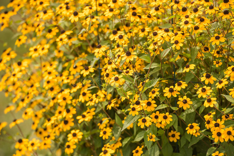 Bright yellows shine from the brown eye susan. Brown eye susans blooming at the of summer bright yellows shine in the sun royalty free stock photo